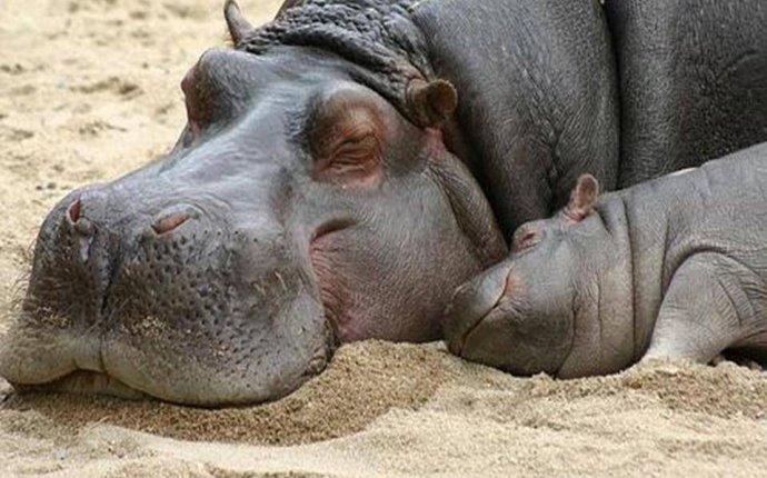 Бегемот: фото, картинки животного, читать описание гиппопотамов