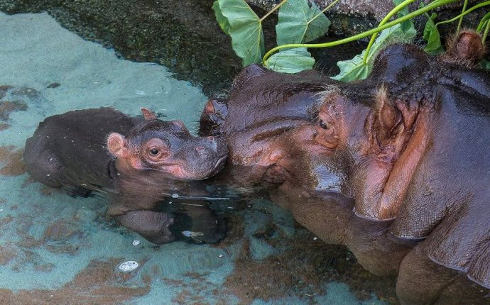 Бегемот (гиппопотам) – описание, виды, фото, где обитает, пища