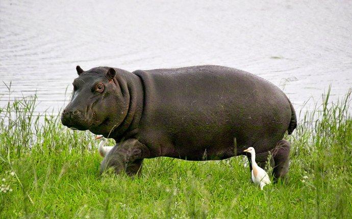 БЕГЕМОТ или ГИППОПОТАМ - фото, видео, описание | Животные