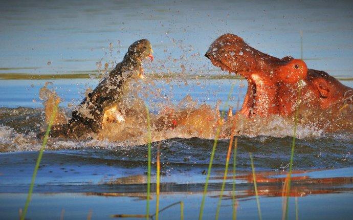 Бегемот против крокодила - National Geographic везде и для каждого