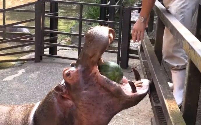 Бегемоты едят арбузы смотреть онлайн видео от Котик Котикович в