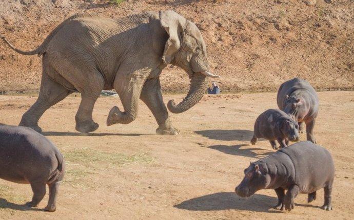 Битва слона и бегемота!. Обсуждение на LiveInternet - Российский