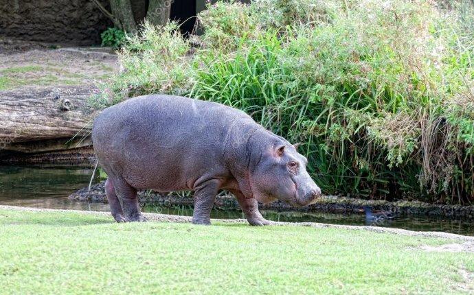 Большой Бегемот идет на берегу реки — Стоковое фото © Lenorlux
