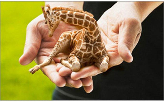 BSNews :: Под Краснодаром появилась ферма мини-жирафов (ФОТО)