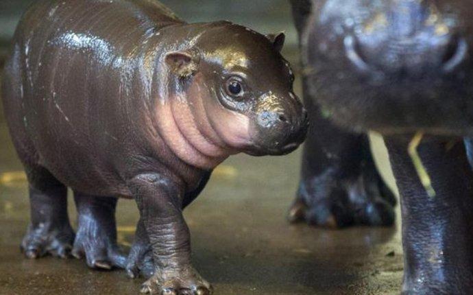 Детеныш бегемота из американского зоопарка умилил соцсети - ВИДЕО