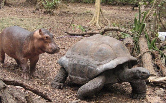 Как львенок черепаха и бегемот встречали новый год