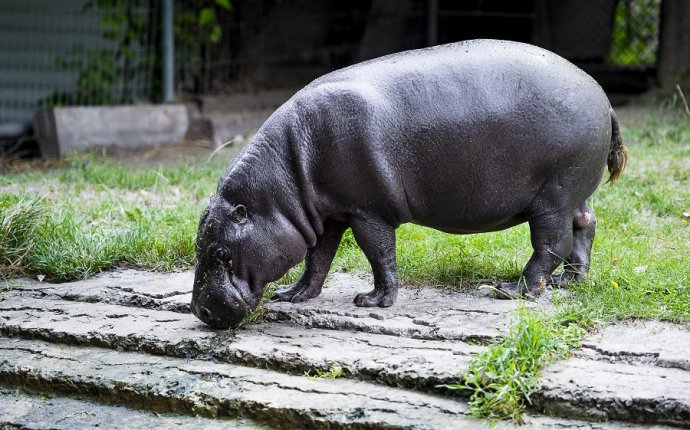 Карликовый бегемот Ростовского зоопарка празднует юбилей