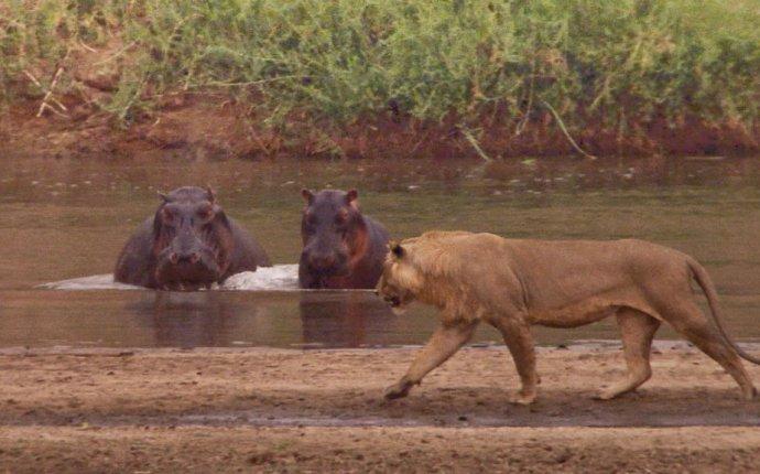 Кровавые соперники: гиппопотамы против львов - National Geographic