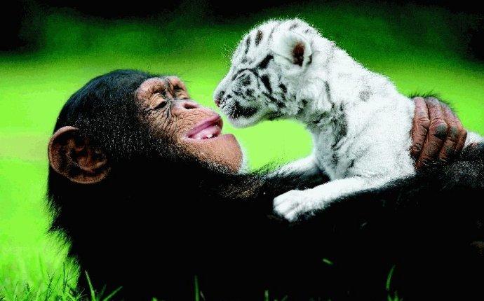 Моя вторая мама: как белые тигрята нашли свою маму-шимпанзе