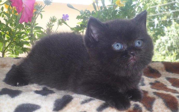 Noblesse oblige Британские короткошерстные кошки