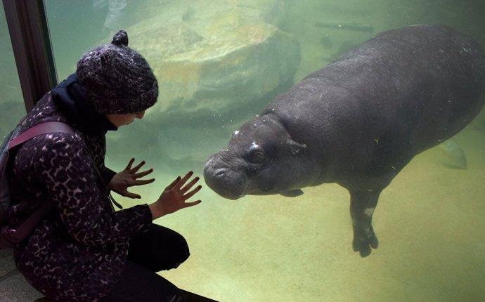 В Московском зоопарке может появиться карликовый бегемот - РИА