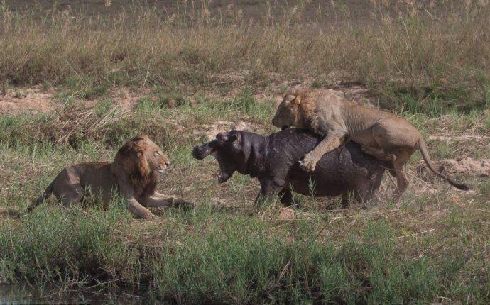 Жестокая природа: гиппопотам против львов » Перуница
